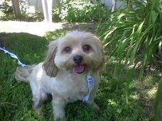 Toby L is an adoptable Lhasa Apso Dog in Oakley, CA. Toby was surrendered to the shelter due to his owners having to move. Toby is the perfect dog. His records say he is 9 but you would never know it...