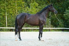 Horses for sale - Westfalen Horse Russia Dressage For sale Nicol - super westfalien stute (NIKOL - vestfalskaya kobyla )