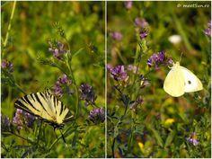 floare mov Centaur, Clematis, Indigo, Camping, Animals, Campsite, Animales, Animaux, Indigo Dye