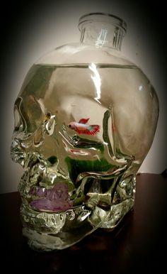 1000 images about betta fish in a glass jar kampfisk i for Betta fish moss ball