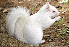 We've seen this albino squirrel at the Capitol, years ago.  Maybe his winter home is at UT Austin