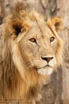 another magnificent lion