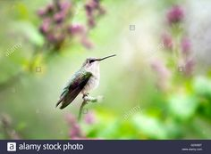 Download this stock image: Ruby Throated Hummingbird - GDN5BT from Alamy's library of millions of high resolution stock photos, illustrations and vectors.