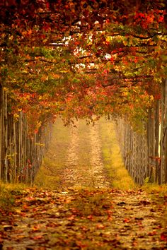 ~~Dreams road | the autumn vineyard colors of Tuscany, Italy | by Tiziano…