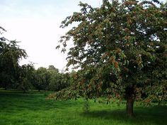 Traditional standard cherry orchard in Kent