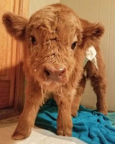 These Baby Highland Cattle Cows Can Cheer You Up No Matter What Happened baby cows 29 Cute Baby Cow, Baby Animals Super Cute, Baby Cows, Cute Cows, Cute Little Animals, Cute Funny Animals, Baby Elephants, Elephant Baby, Baby Baby