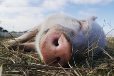Meet pigs, goats, cows and other farm animals via Charlie's Acres virtual tours. (Courtesy of Charlie's Acres) Fun Facts About Animals, Animal Facts, Wild Animal Rescue, Wild Animal Sanctuary, East Bay, Reasons To Smile, Make It Through, Virtual Tour, Kids House