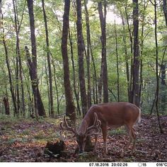 Look at this stud our friends with @the_huntco  have coming in. This is a solid #rackemstackemdeerfeed #buck.  #whitetail #bowseason2017 #bowhunting #whitetaildeer #foodplots #Bowhunter #bigbuck #whitetailbuck #missourihunting #velvet #hunting #filmhunts #hunt #archery #rifle #velvetfest #antlers #bowseason #outdoors #wildlife #sportsman #sportswoman #ihunt http://misstagram.com/ipost/1566734732241194868/?code=BW-KPAkgM90