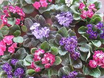 An introduction to growing African violets. These popular houseplants have been a favorite for more than century because of their beauty, size and free-flowering. Tips on how to water, feed and keep them beautiful.