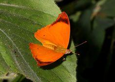 http://www.learnaboutbutterflies.com/Amazon - Temenis laothoe.htm