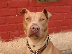TO BE DESTROYED - TUESDAY - 4/22/14, URGENT - Brooklyn Center    SUGAR - A0996410   FEMALE, BROWN / WHITE, PIT BULL MIX, 1 yr  OWNER SUR -INAD FACIL   04/12/2014 PUPPY ALERT!!!  Owner states she is house trained, has lived with two adults, children and gets along well with children and strangers. Sweet, playful, affectionate!