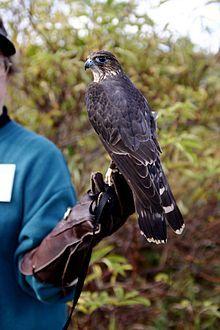 Falco columbarius training.jpg .Esmerilhão