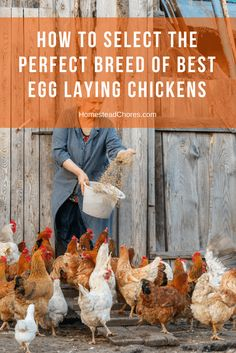 Do you want to raise chicken for their eggs either for profit or personal consumption? Here are some tips to select the best egg laying chickens.