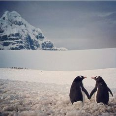 Penguin heart. So natural, so much love...no wonder they mate for life. I wish I could find my human penguin.☀️☀️
