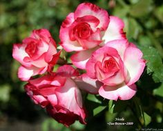'Nicole ' Rose