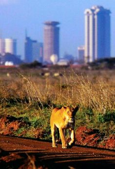 The Nairobi National Park is unique by being the only natural game reserve of its nature to border a major city.