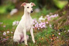 Fawn whippet bitch in woodland - Olivia Bell Photography/Moment/Getty Images