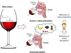 Tim James: Saliva and wine - winemag Food Chemistry, Wine Education, Macro And Micro, Vitis Vinifera, Fine Wine, Perception, Wine Tasting, Wines, Red Wine