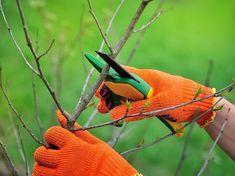 Odřízněte 20-30 % loňského přírůstku Flora Garden, Tree Pruning, Gardening Gloves, Outdoor Plants, Agriculture, Shrubs, Blade, Wood Work, Stock Photos