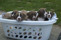 Wow, I'll take this basket of pittie love anyday...
