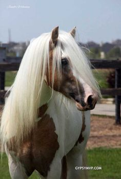 Gypsy Vanner Horses for Sale | Stallion | Palomino and White | Dragon Fire
