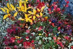 Tundra vegetation, Yukon Slime Mould, Fungi, Nature Photos, Arctic, Alaska, Photo Art, Tapestry, White Wolf, Tattoo Inspiration