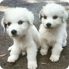 10/7/16 Parsippany, NJ - Great Pyrenees. Meet ARIEL and SEBASTIAN, a puppy for adoption. http://www.adoptapet.com/pet/16767660-parsippany-new-jersey-great-pyrenees