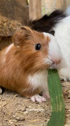 Baby Animal Videos, Funny Animal Videos, Cute Funny Animals, Cute Baby Animals, Funny Pets, Baby Guinea Pigs, Guinea Pig Care, Baby Snow Leopard, Guniea Pig