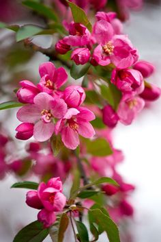 Crabapple Blossoms by Nicole Heaton Beautiful Flowers Wallpapers, Beautiful Rose Flowers, Exotic Flowers, Amazing Flowers, Pretty Flowers, Flor Iphone Wallpaper, Flower Wallpaper, Blossom Trees, Spring Blossom