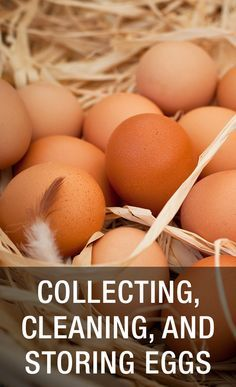 Raising Chickens Guide - Collecting, Cleaning, And Storing Eggs: www.mychickencoop...