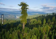Hyperion, the tallest tree in the world. It's location is a closely guarded secret and hasn't ever been revealed publicly.