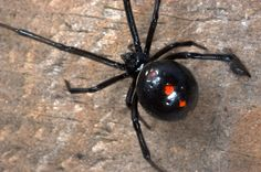 But spiders are sometimes lazy. According to one study, some jumping spiders especially like to steal food from ants, instead of going himself to the chase