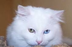 Image result for turkish van cats for sale