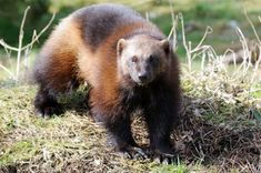 Being reclusive in nature, wolverine is one of the least studied animals on the planet; and that explains why people are not aware of its physical and behavioral adaptations for survival. Wolverine Pictures, Wolverine Animal, Animal Adaptations, Animal Habitats, Animal Facts, Wolverines, Coat Of Arms, Brown Bear, Otters