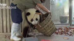 Vienen a limpiar la casa de estos bebés de osos panda y esto es lo que pasó ADORABLES! #viral