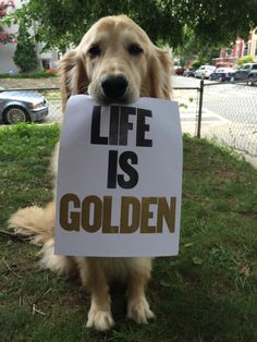 Astonishing Everything You Ever Wanted to Know about Golden Retrievers Ideas. Glorious Everything You Ever Wanted to Know about Golden Retrievers Ideas. Golden Retrievers, Perros Golden Retriever, Golden Retriever Quotes, Golden Retriever Training, Cute Puppies, Cute Dogs, Dogs And Puppies, Labrador Puppies, Corgi Puppies