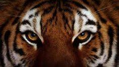 ojos de tigre wallpaper - Buscar con Google