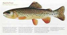 'Apache Trout' giclee print by Tom Tomelleri via Charting Nature http://www.chartingnature.com/trout-print.cfm/apache-trout-tomelleri-trout-print/231