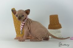 naked cats for sale naked cats, NADA Sphynx, Devon Rex, Lykoi, Cats ... #catmeow - Catsincare.com!