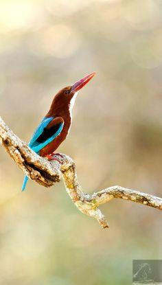 White-throated Kingfisher – Kabini, India...