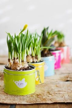 Spring bulbs in tea tins ❤