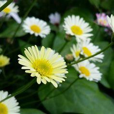 ちっちゃなちっちゃな 黄色いお花 ヒメジョオン位な またもや名前わからず(^^; * 今日から「氷艶hyoen2017破沙羅」 歌舞伎 ON ICE 始まりますね 私は月曜日に〜♪ そわそわします〜 * 5月20日 * #名前わからないお花#花#flower#love_flower#love_natura#natural_flower#natural_garden#natural_flower#natural#garden#flowerstalking#flowerslovers#flowerstagram#flowersphotograph#Instaflowers#ig_flowers##ig_flowers_world#rainbow_petals#ザ花部#花倶楽部#はなまっぷ#花フレンド#花回廊#とっとり花回廊 http://gelinshop.com/ipost/1518436530467702624/?code=BUSkfq8gQdg