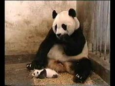 ¡Pandaaaaccchhhuuuu! |#Panda #Estornudo #Animales