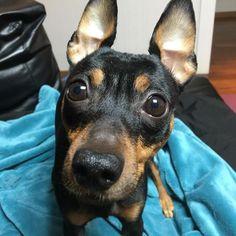* * *  Good Morning🌤 * * 珍しく📷に近づいてきたけど 目線はくれないらしい💧 *  Have a great one👍 * * #日の出06:40 #ミニピン #ミニチュアピンシャー #ブラックタン #愛犬 #犬 #いぬ #わんこ #minipin #instadog #ilovemydog #dogstagram #pets #doglover #dogs #lovely #instapet #lovemydog #미니핀 #dogsofinstagram #minipinstagram #おはよう #goodmorning