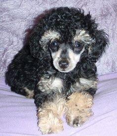 Phantom Poodle Puppy very cute