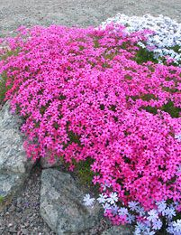 phlox subulata - Scarlet Flame Key feature: Deer Resistant Plant type: Perennial Deciduous/evergreen: Evergreen Cold hardiness zones: 3 - 8 Light needs: Full sun Water Needs: Water regularly, when top 3 in. of soil is dry. Average landscape size: Moderate grower to 4 to 6 in. tall, 18 in. wide. Growth rate: Modera Special features: Deer Resistant Landscape uses: Erosion Control, Mass Planting, Rock Garden Flower color: Red Blooms: Scarlet flowers in spring. Foliage color: Green