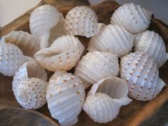 Beach Decor Murex Shell - Large Murex Shell - Coastal Home Decor - Seashells - Seashell Supply - Beach Wedding Coastal Homes, Coastal Decor, Mirror Crafts, Sunflower Wallpaper, Nice Cream, Shell Crafts, Wedding Crafts, Nautical Wedding, Really Cool Stuff