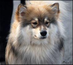 Finsk Lapphund, domino