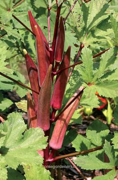 Red Burgundy Okra Heirloom Seeds – Non-GMO, Open Pollinated, Untreated - Modern Growing Okra, Growing Grapes, Fast Growing, Types Of Vegetables, Planting Vegetables, Veggies, Healthy Vegetables, Okra Vegetable, Okra Seeds