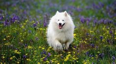 """Known as """"the dog beautiful"""" by his admirers, the American Eskimo Dog, or """"Eskie,"""" is a striking fellow with his white coat, sweet expression, and black eyes. Description from pinterest.com. I searched for this on bing.com/images"""